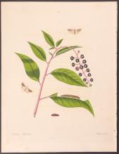 Abbot - Poke-Weed Moth. 97