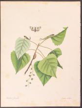 Abbot - Kitten Moth. 71