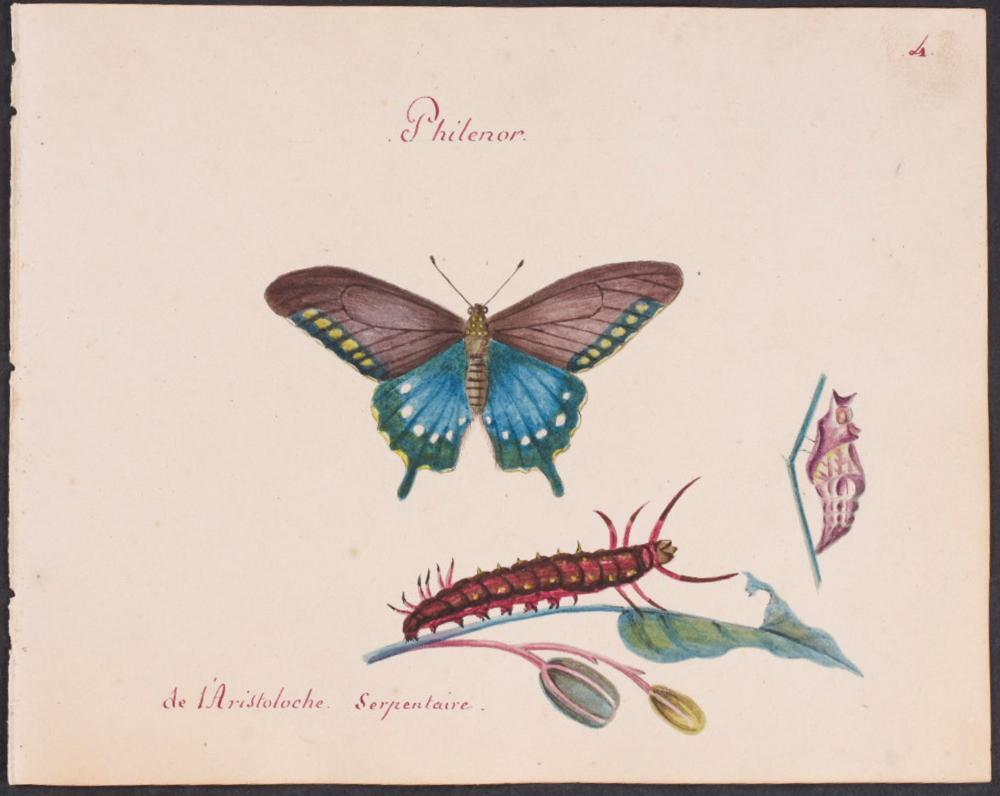 Abbot, Original Watercolor - Butterfly Metamorphosis. 4