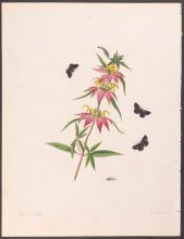 Abbot - Black Skipper Butterfly. 24