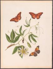 Abbot - Great American Fritillary Butterfly with Passion Flower. 12