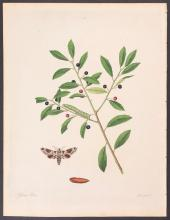 Abbot - Gall-Berry Hawk-Moth. 35