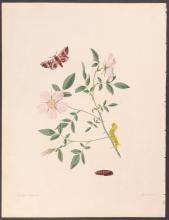 Abbot - American Eyed Hawk-Moth with Carolina Rose. 25