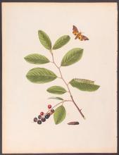 Abbot - Yellow-underwing Eyed Hawk-Moth. 26