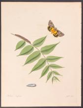 Abbot - Great Yellow-underwing Moth. 88