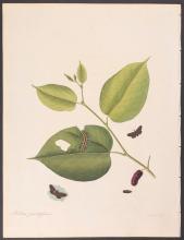 Abbot - Small Ermine Moth. 70