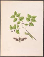 Abbot - Plum-Tree or Hack-Berry Hawk-Moth. 36