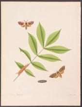 Abbot - Hickory Hawk-Moth. 29