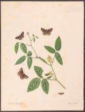 Abbot - Brown Skipper Butterfly. 22