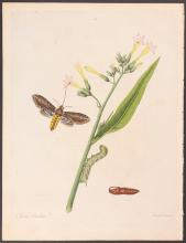 Abbot - Tobacco Hawk-Moth. 33