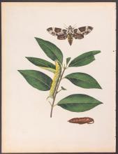 Abbot - Fringe-Tree Hawk-Moth. 34