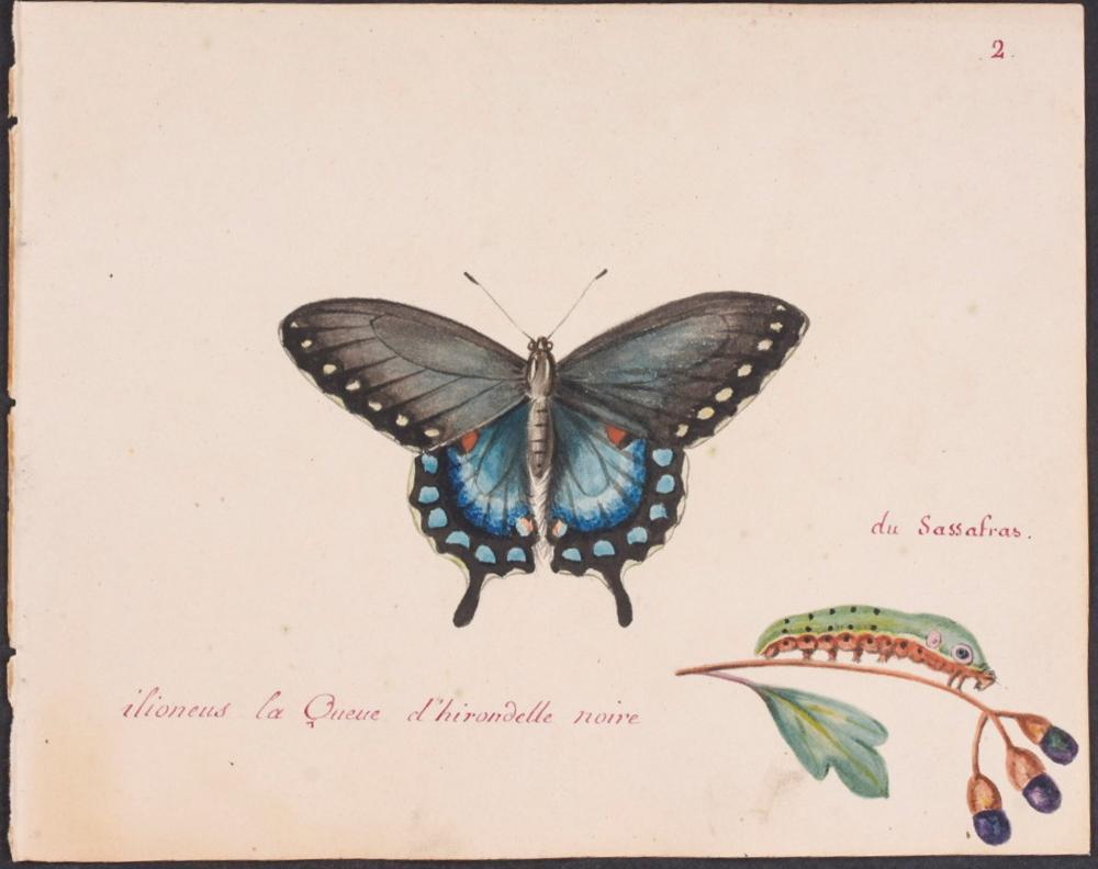 Abbot, Original Watercolor - Butterfly & Caterpillar. 2