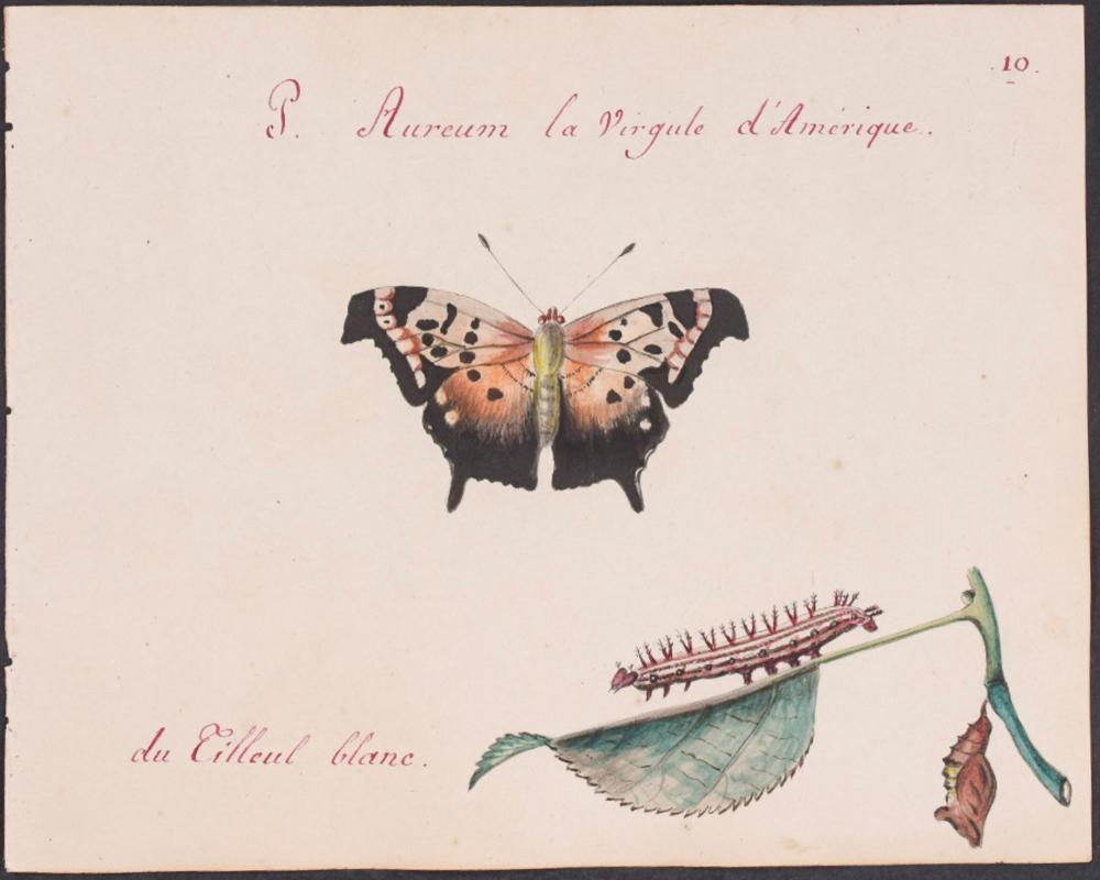 Abbot, Original Watercolor - Butterfly Metamorphosis. 10
