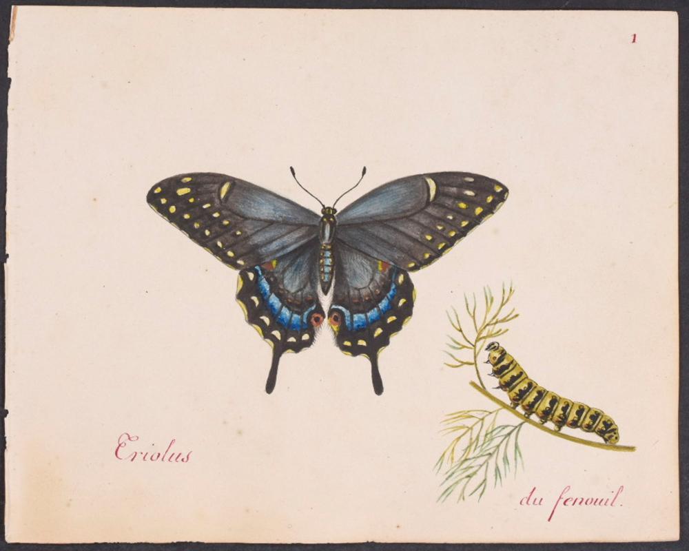 Abbot, Original Watercolor - Butterfly & Caterpillar. 1