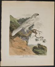 White - White Hawk. 10