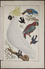 Seba - Cockatoo, Parrots. 59