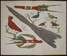 Seba - Birds. 60