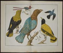 Seba - Birds. 61