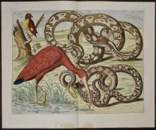 Seba - Scarlet Ibis, Snakes. 62