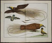 Seba - Birds of Paradise. 63