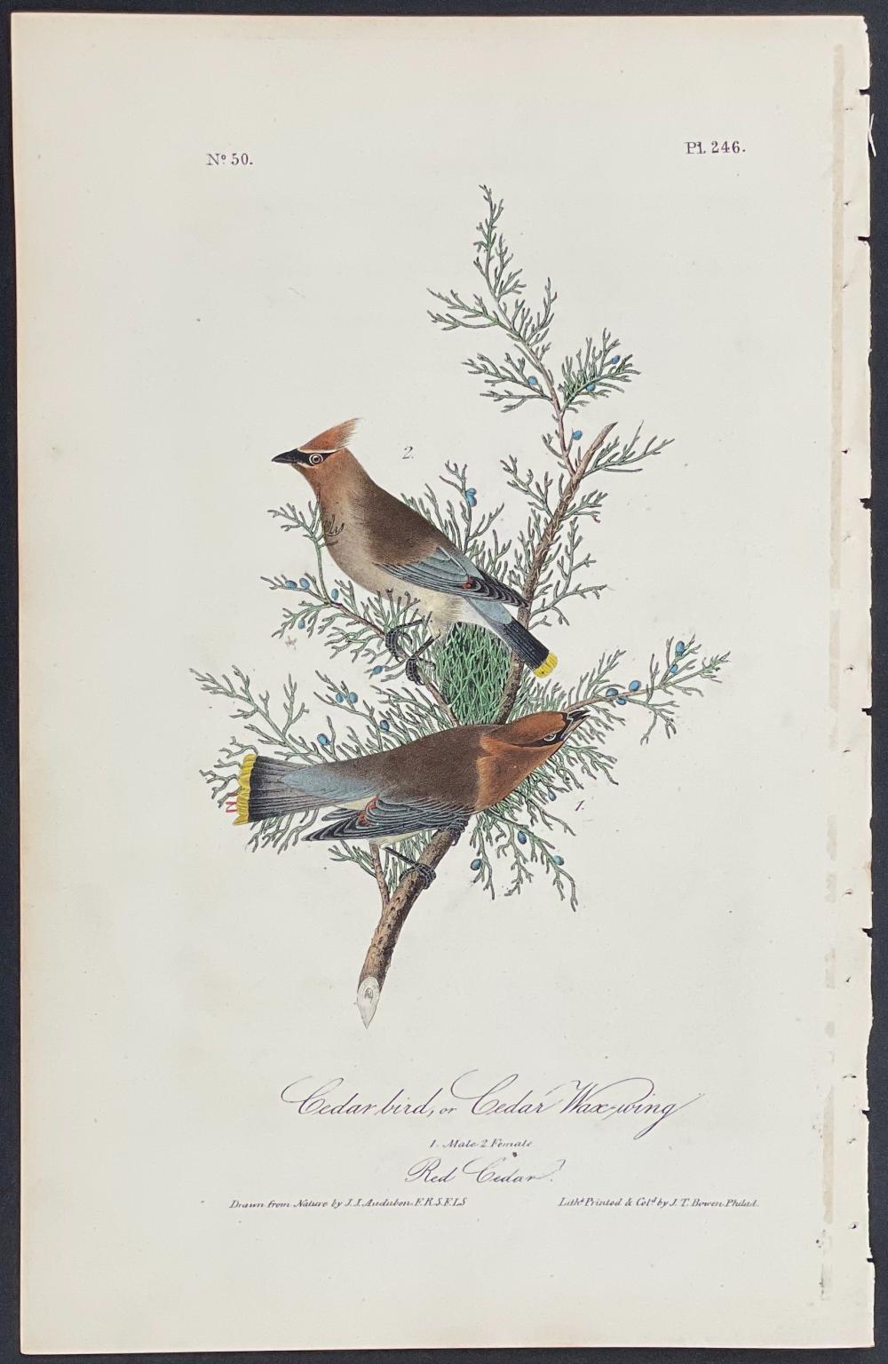 Audubon - Cedar bird, or Cedar Wax-wing. 246