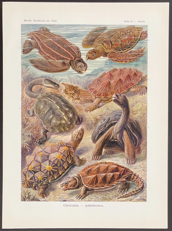 Haeckel - Turtles; Chelonia. 89