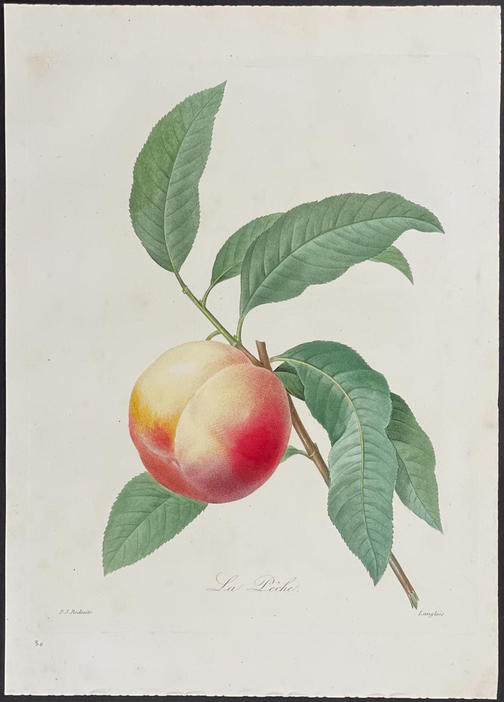 Redoute - Peach