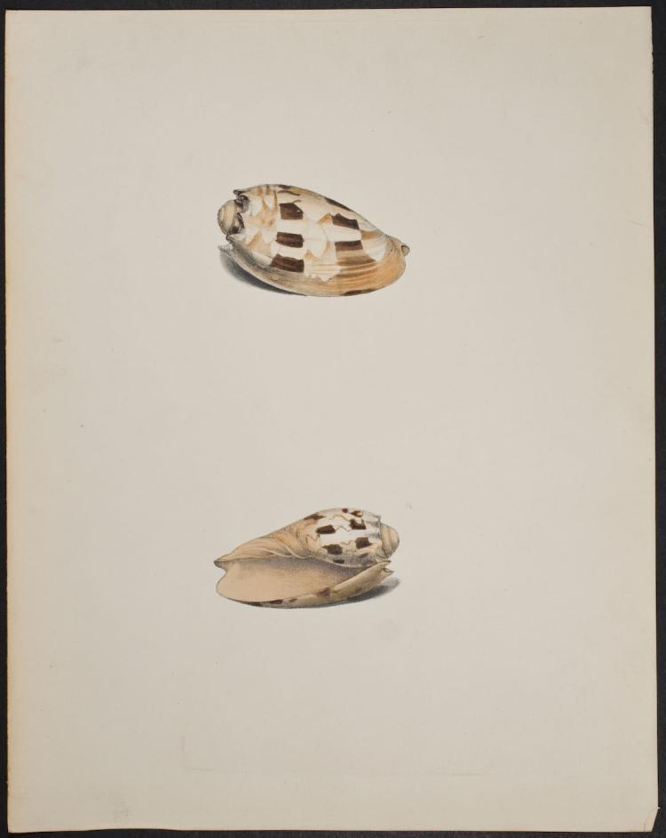 Swainson - Shells