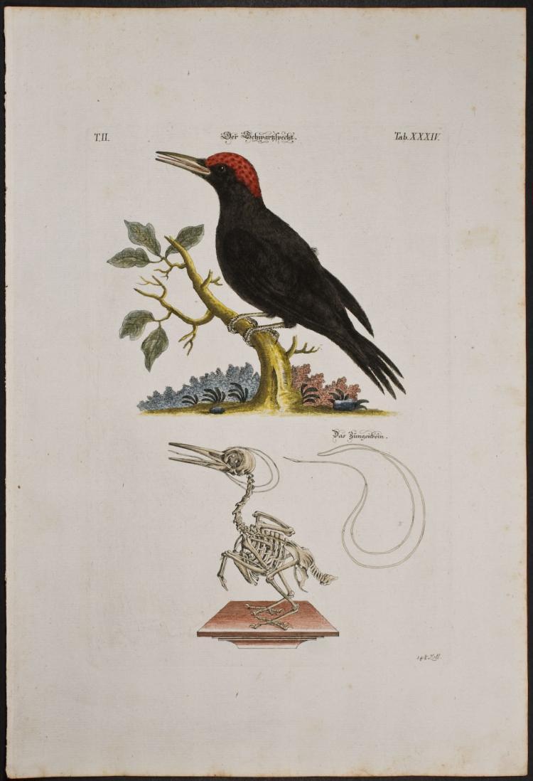 Meyer - Woodpecker & Skeleton. 34
