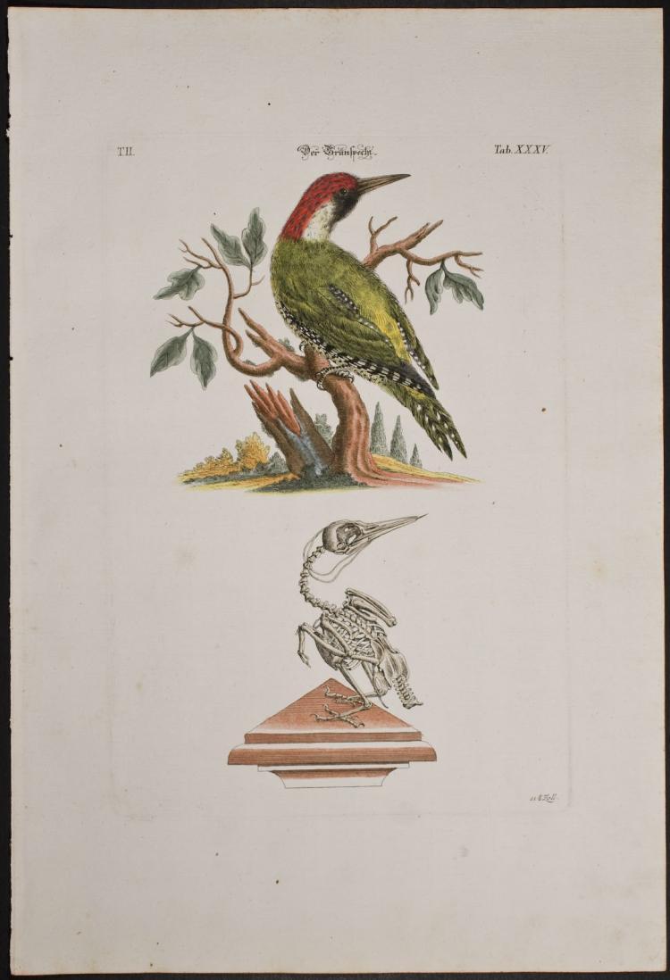 Meyer - Woodpecker & Skeleton. 35