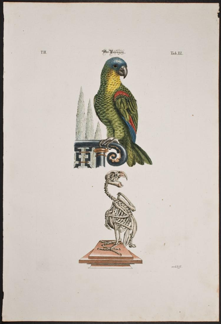 Meyer - Parrot & Skeleton. 40