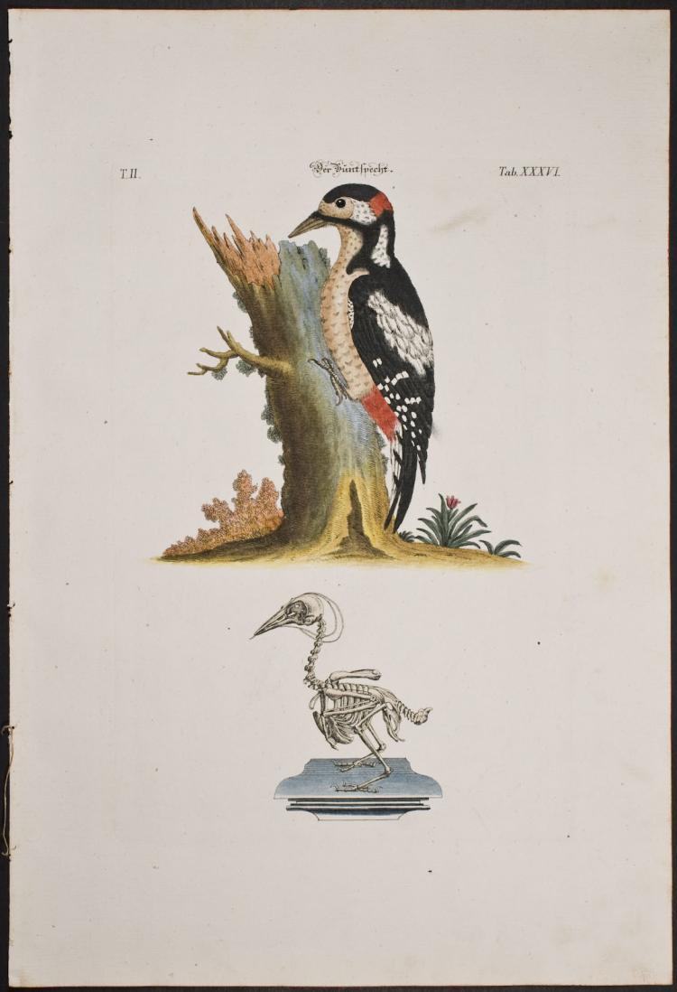 Meyer - Woodpecker & Skeleton. 36