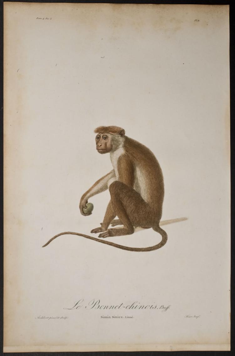 Audebert - Monkey – Simia Sinica. 11