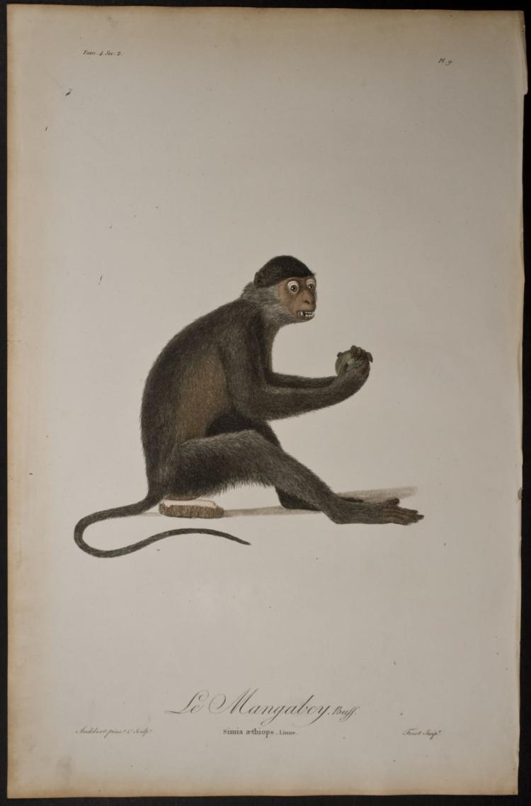 Audebert - Monkey – Simia aethiops. 9