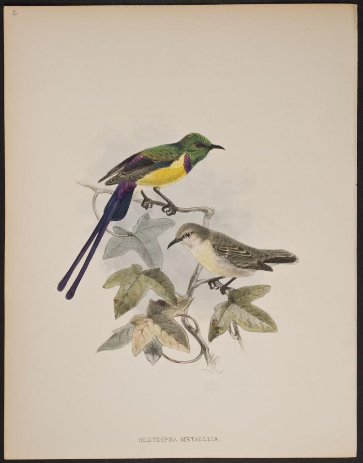 Shelley & Keulemans - Blue-Collared Long-tailed Sun-Bird - 2