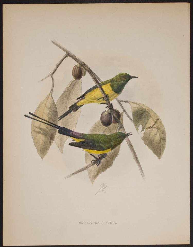 Shelley & Keulemans - Green-collared Long-tailed Sun-Bird - 3