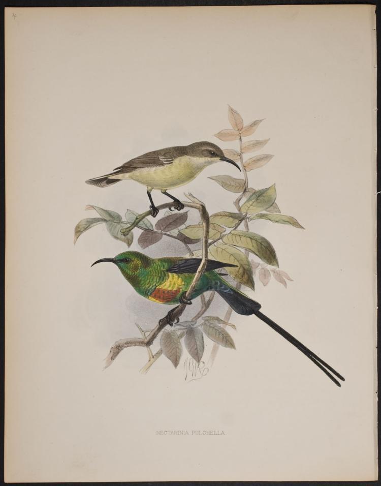 Shelley & Keulemans - Beautiful Sun-Bird - 4