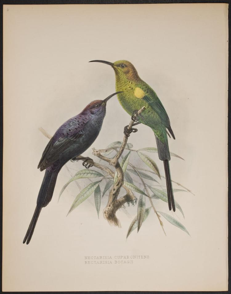 Shelley & Keulemans - Abyssinian Malachite Sun-Bird - 6