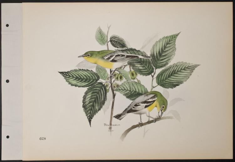 Brasher - Yellowthroat Vireo. 628