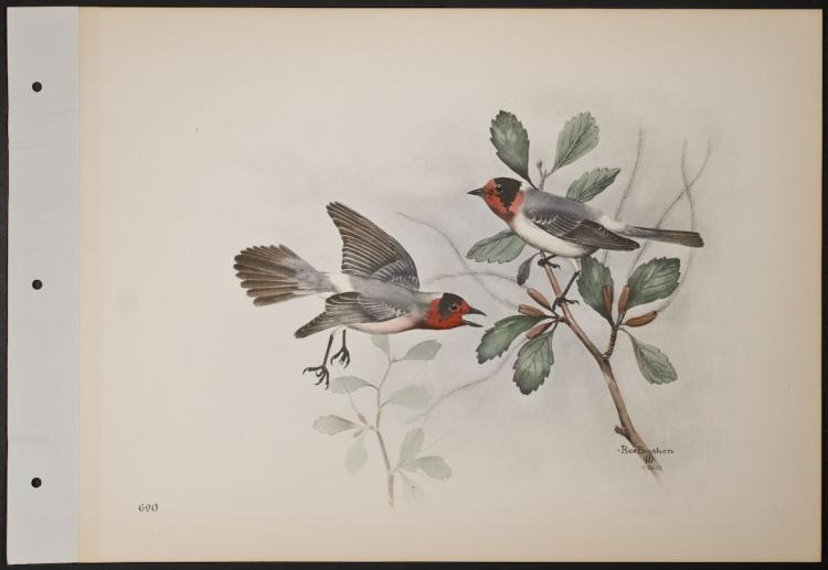 Brasher - Redface Warbler. 690