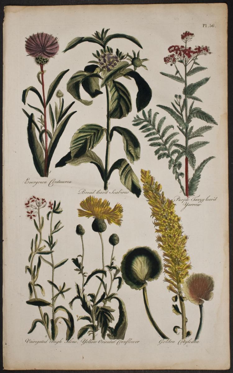 Hill - Centurea, Scabious, Yarrow, Cornflower, Colyledon. 56