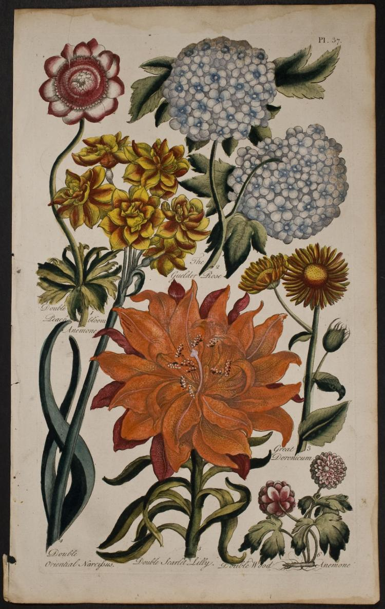 Hill - Anemone, Rose, Narcissus, Double Scarlet Lily, Doronicum. 37