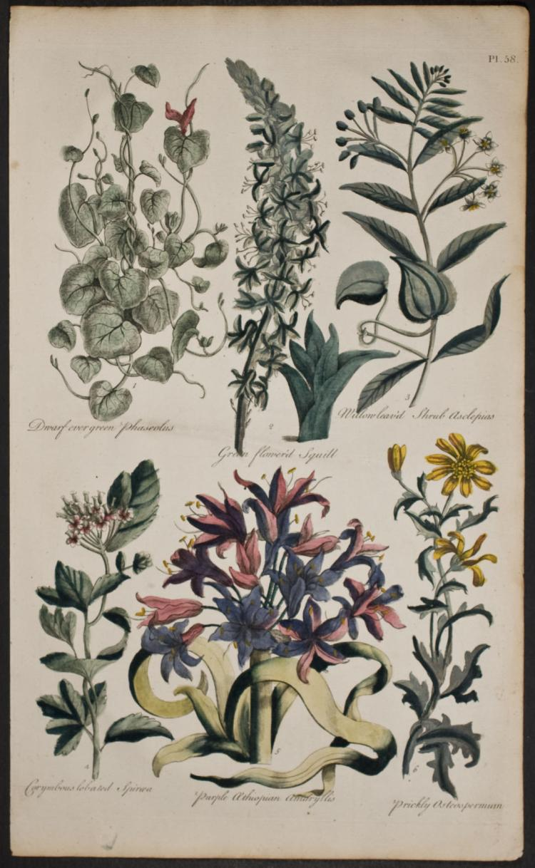 Hill - Phaseolus, Squill, Spiraea, Amaryllis. 58