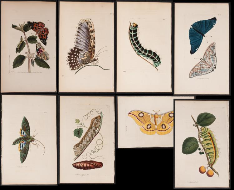 Shaw & Nodder - 8 Butterfly & Moth Engravings