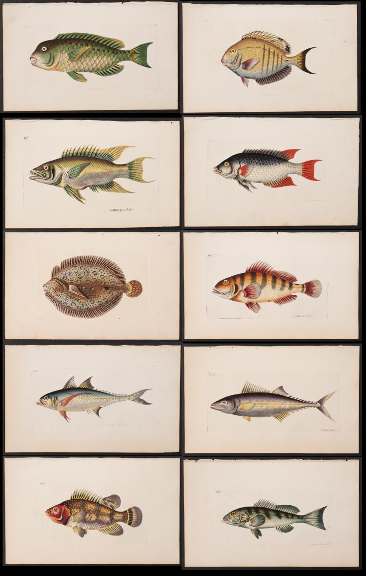 Shaw & Nodder - 10 Fish Engravings