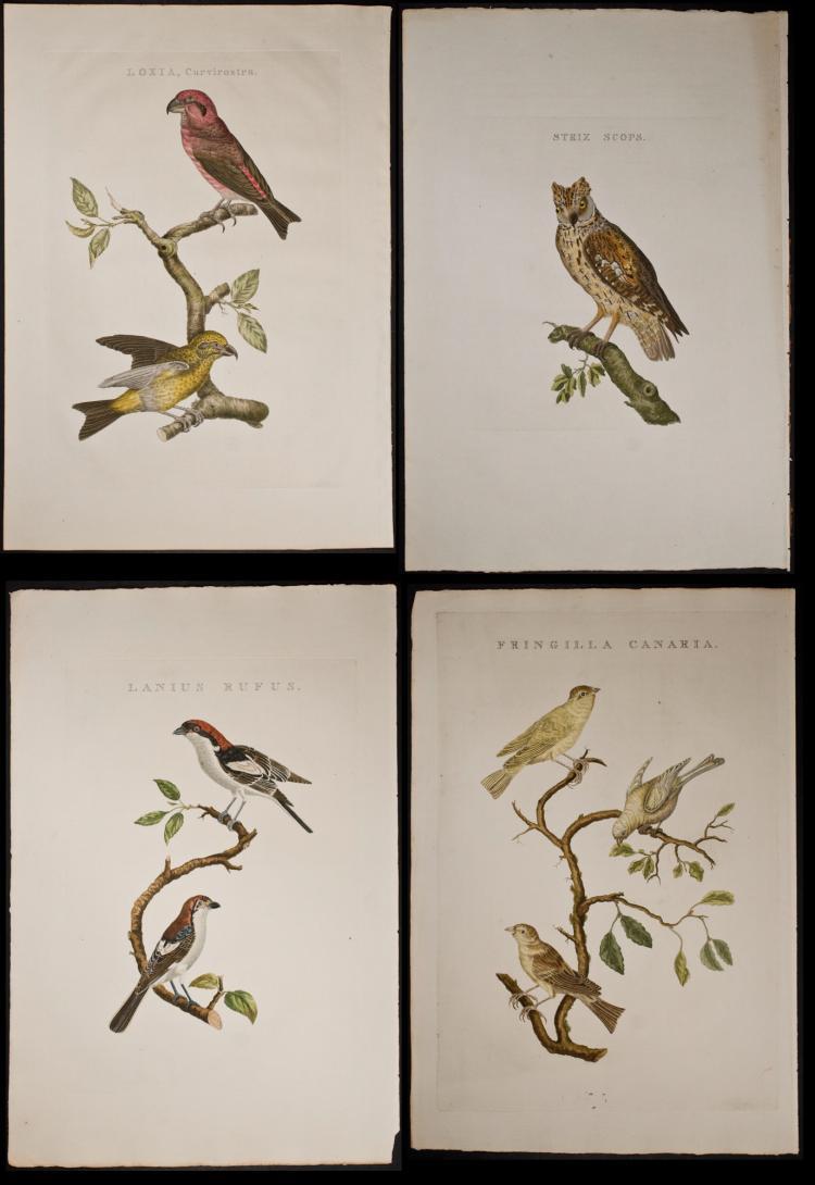 Nozeman - 4 Folio Bird Engravings