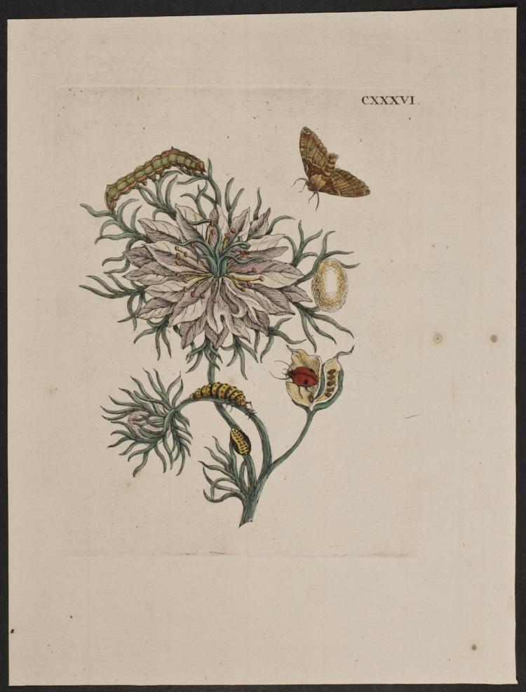 Merian - Moth Metamorphosis. 136