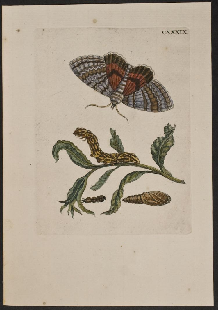 Merian - Moth Metamorphosis. 139