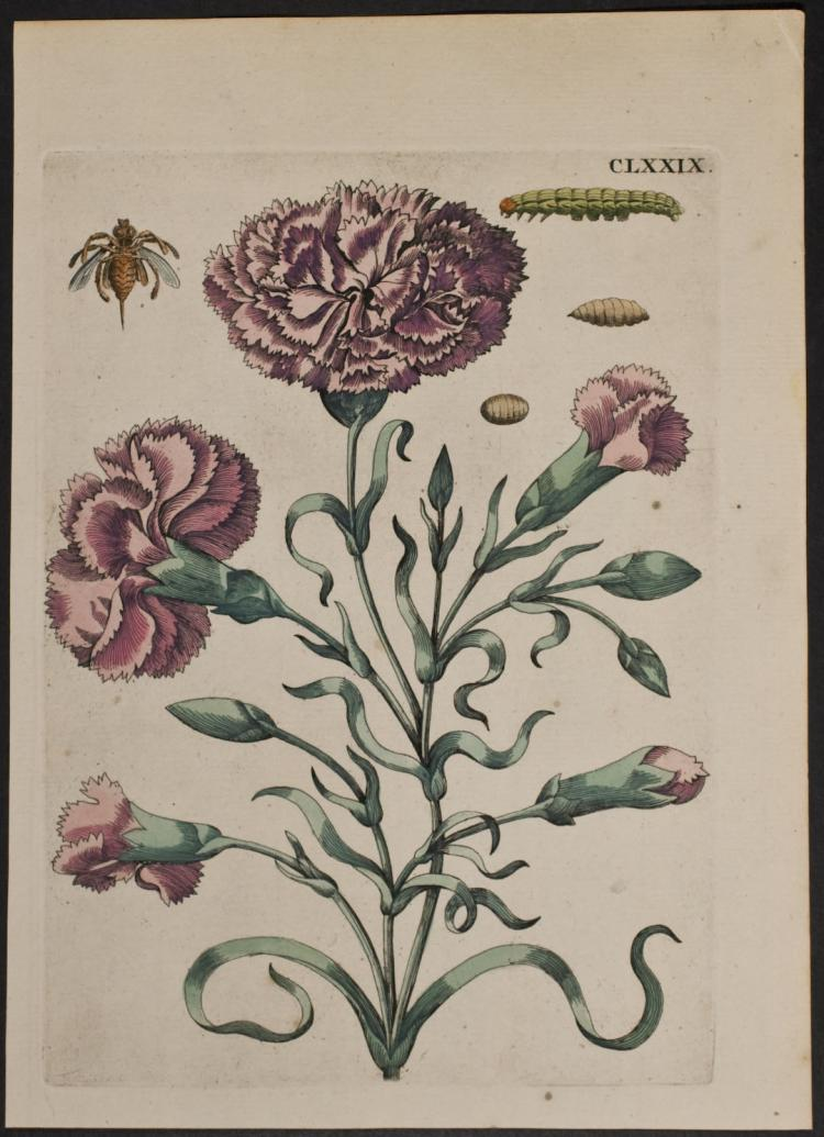 Merian - Carnation & Insects. 179