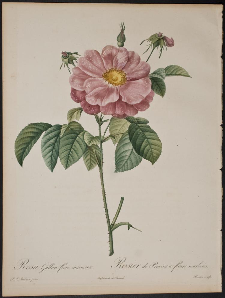 Redoute - Rosa Gallica flore marmoreo